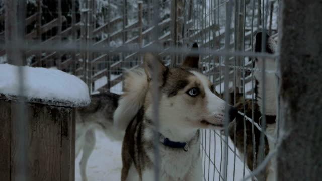 Alarmed husky dogs barking video