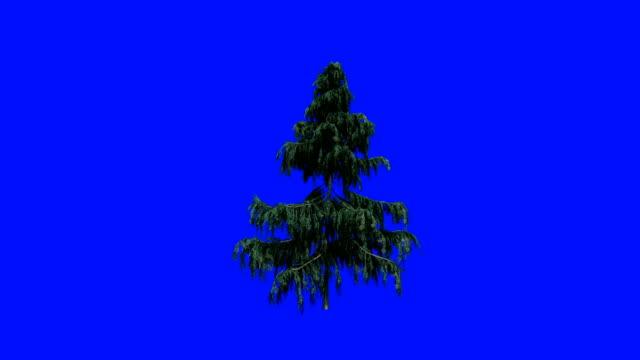 Alaska Cedar tree blowing in the wind, against Blue Screen Chromakey Alaska Cedar tree blowing in the wind, against Blue Screen Chromakey pine tree stock videos & royalty-free footage