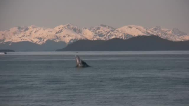 vidéos et rushes de alaska baleine à bosse montagnes neige océan pacifique, glacier forêt de la nature - baleine