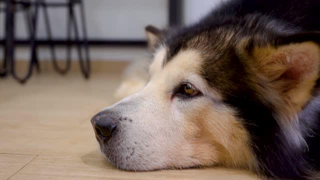 il cane dell'alaska si sta sdraiando con movimento pigrizia. - cane husky video stock e b–roll