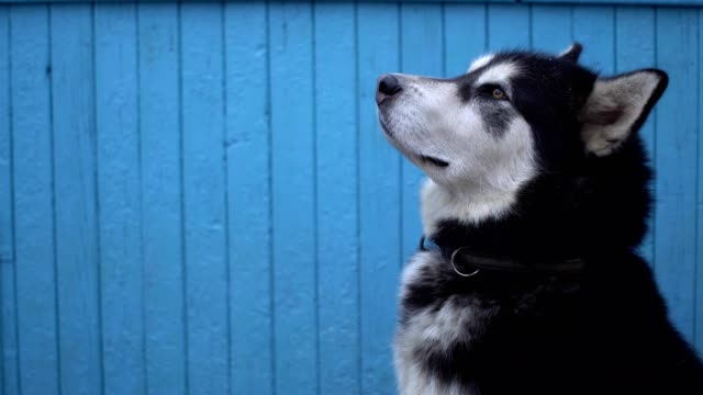 alaskan malamute dog against a blue wooden house wall background in winter - malamute video stock e b–roll