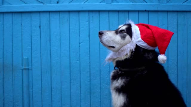 alaskan malamute dog in santa's hat against a blue wooden house wall background in winter - malamute video stock e b–roll