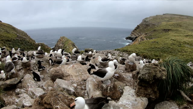 albatross med unga - djurfamilj bildbanksvideor och videomaterial från bakom kulisserna