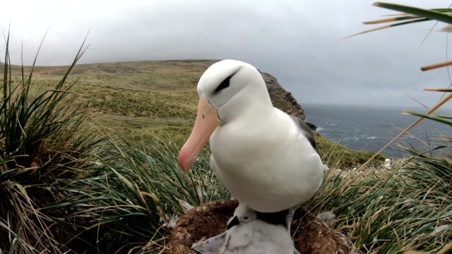 Albatross With Young