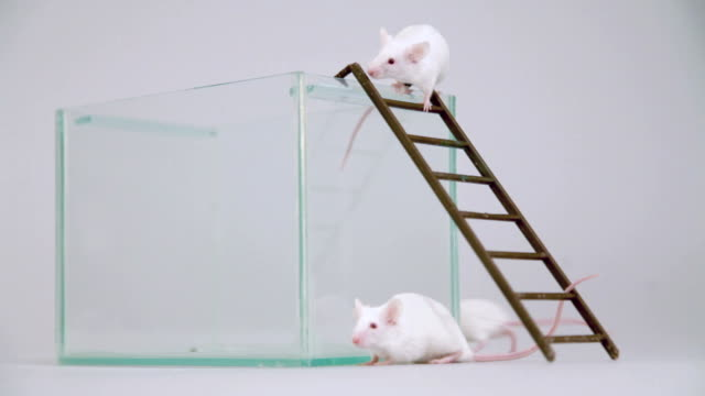 Albino mouse on ladder video