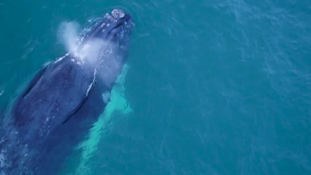 vidéos et rushes de veau de baleine franche australe albino nager avec sa mère - baleine