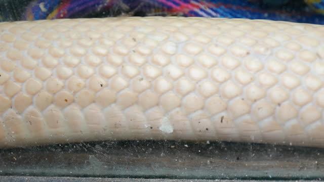 アルビノ monocled キング ・ コブラ汚れたガラス ボックスの移動 - ヘビ点の映像素材/bロール