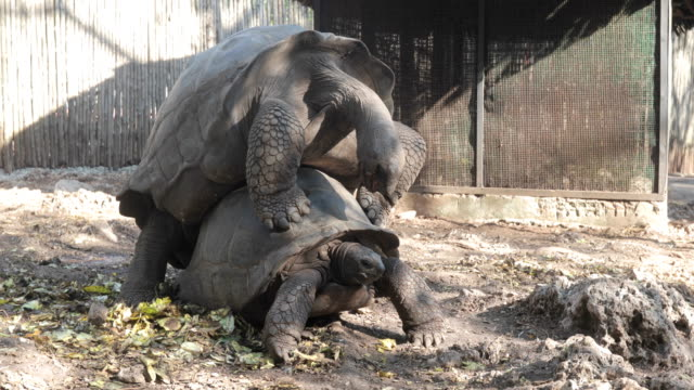 Aldabra Tortoises Mating Aldabra Tortoises Mating outdoors. tortoise stock videos & royalty-free footage