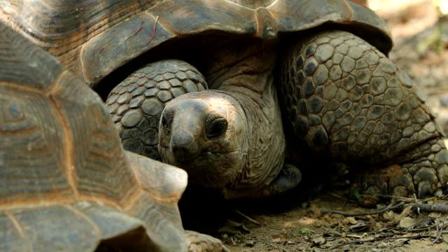 Aldabrachelys gigantea Video of Aldabrachelys gigantea (4K) seychelles giant tortoise stock videos & royalty-free footage
