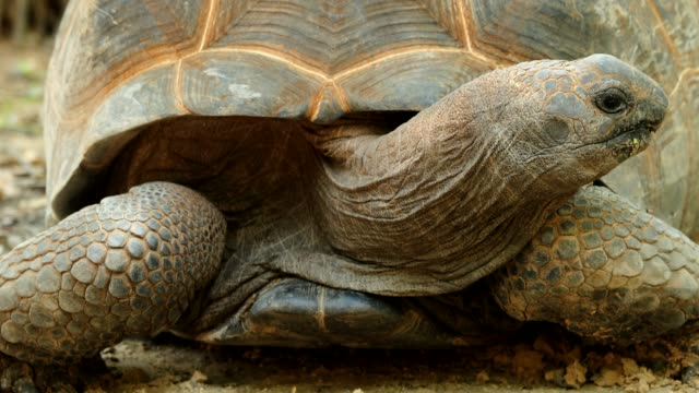 Aldabrachelys gigantea Video of Aldabrachelys gigantea (4K) giant tortoise stock videos & royalty-free footage