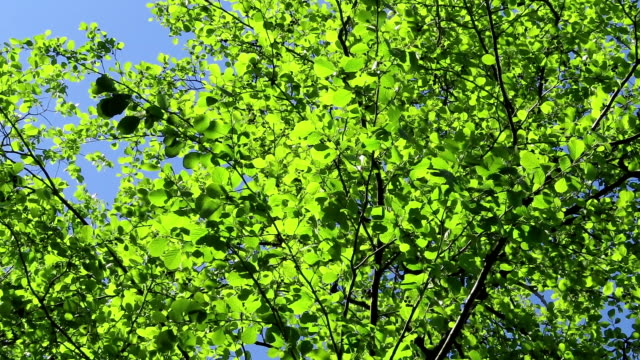 alder tree with green leave against blue sky. wind.