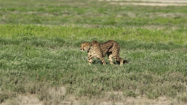 Alert cheetah on the hunt An alert cheetah (Acinonyx jubatus) out on the hunt, Etosha National Park, Namibia namibia stock videos & royalty-free footage