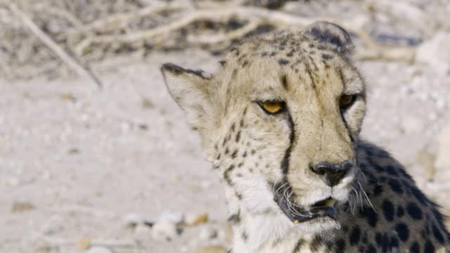 CU Alert cheetah,Namibia,Africa