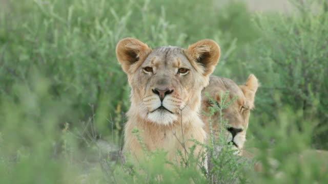 stockvideo's en b-roll-footage met waarschuwing leeuwin waarnemen van de omgeving - leeuwin