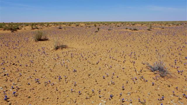 Alkanna / Boraginaceae - herbaceous plants in Tunisia / Africa