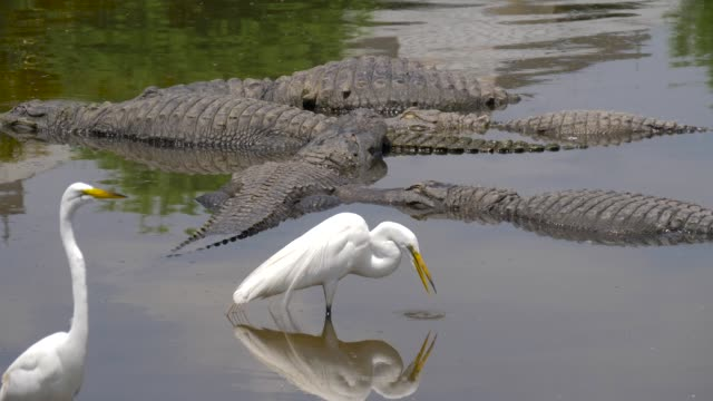 Alligator floats just above the water Many wild crocodiles swimming in turbid water. Group of predator reptiles floating in a river. Dangerous hungry animals waiting for prey. American alligators lie in the swamp, next to the herons. wetland stock videos & royalty-free footage