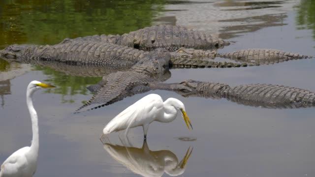 alligator floats just above the water - болото стоковые видео и кадры b-roll