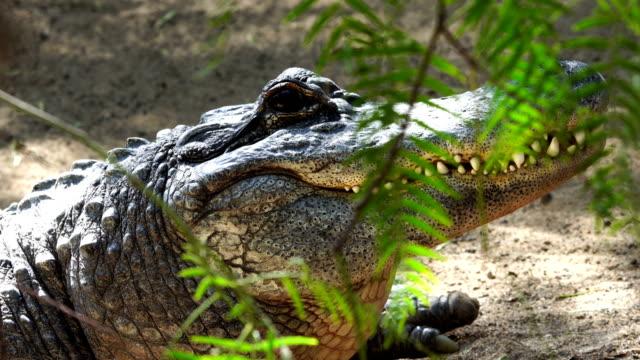 vidéos et rushes de alligator en détail la tête à bout portant - reptile