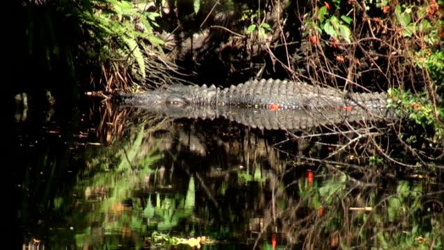 alligator mississippiensis, stops for a look while swimming the river - fornhistorisk tid bildbanksvideor och videomaterial från bakom kulisserna