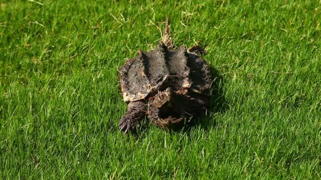 Alligator Snapping Turtle in grass. This is a video of an Alligator Snapping Turtle(Macrochelys temminckii).  This species is one of the largest freshwater turtles in the world. snapping stock videos & royalty-free footage