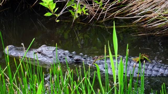 Alligator swimming in Florida Everglades National Park. 4K