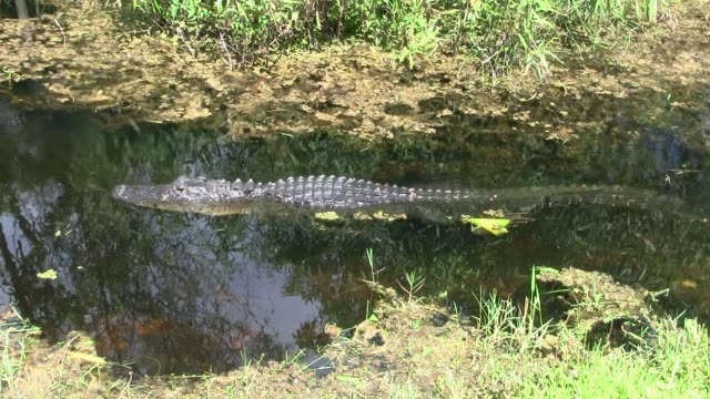 Alligator Swimming in the Everglades Swamp Alligator Swimming floating in the Calm, Dark Water With Plants of the Everglades in Florida, United States. A Dangerous Reptile. An Animal of an Endangered Species. wetland stock videos & royalty-free footage