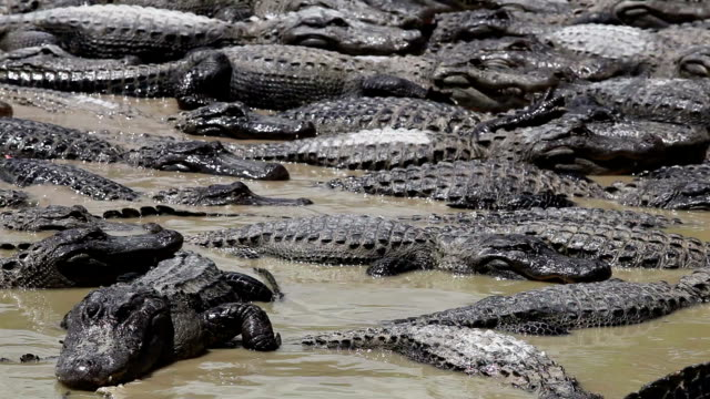 Alligators Party Lots of alligators in a lake at a natural park in Florida, eating or waiting to eat swamp stock videos & royalty-free footage