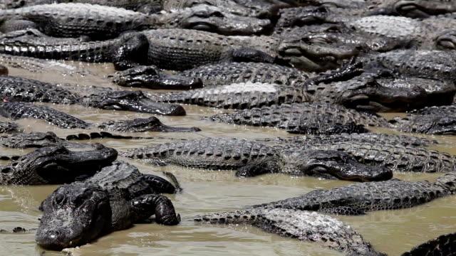alligators - - болото стоковые видео и кадры b-roll