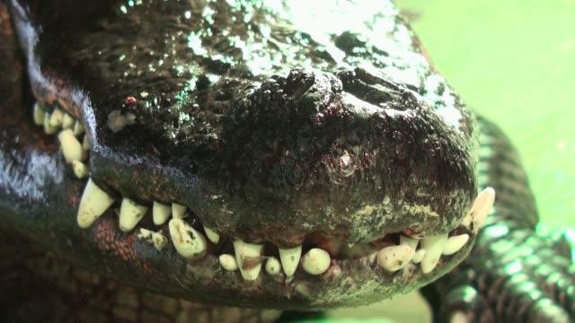 timsah'ın dişler aşırı yakın çekim - etçiller stok videoları ve detay görüntü çekimi