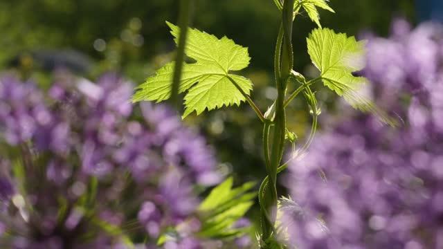 Allium giganteum flowers natural background