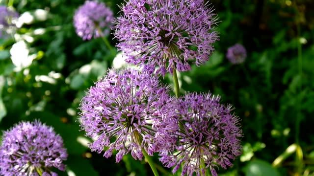 vidéos et rushes de fleurs d'allium purple bouchent dans le jardin de tournage de caméra statique - botanique