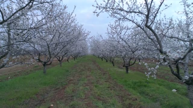 Almond Blossom Gardens in the Bakhchisarai
