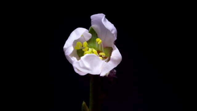 almond blossom white flower opens its petals video