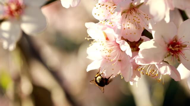 vídeos de stock e filmes b-roll de almond blossoms in winter - february - amendoas