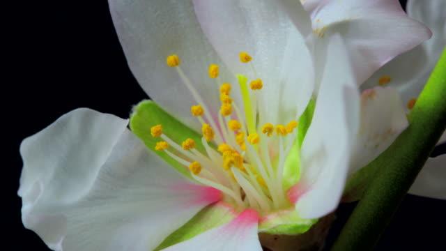 Almond flower blooming 4K video