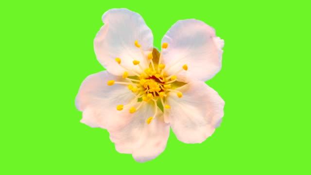fiore di mandorla che fiorisce su sfondo chiave di crominanza in un lapse di tempo - capolino video stock e b–roll