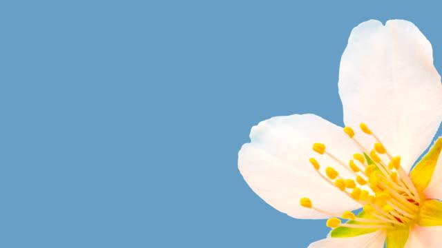 vídeos de stock e filmes b-roll de almond flower blooming against chroma key background in a time lapse - flower white background