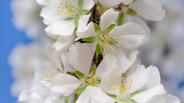 almond flower blooming and rotating against black background in a time lapse movie. prunus amygdalus growing in one axis motion, time-lapse. - stock video - spring stock videos & royalty-free footage