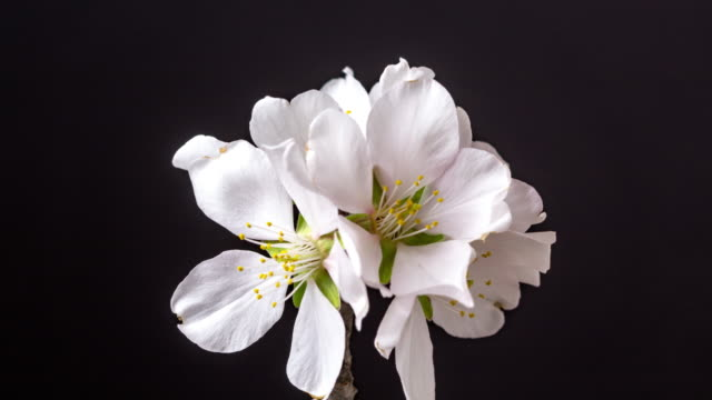 Almond flower blooming in a horisontal time lapse 4k video against black background. Video of Prunus dulcis blossom in spring time.