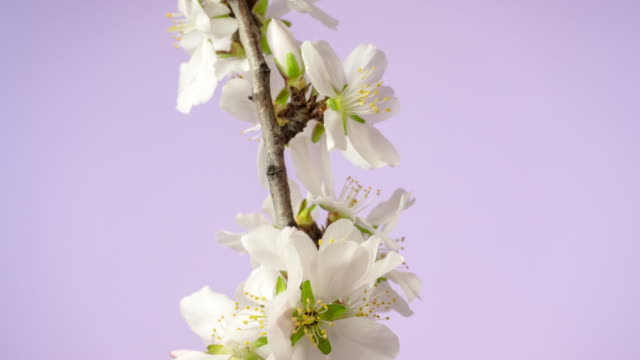 Almond flower blooming in a horisontal time lapse 4k video against pink background. Video of Prunus dulcis blossom in spring time.