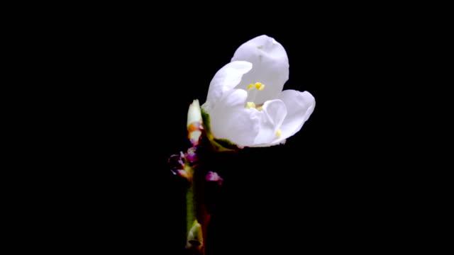vídeos de stock e filmes b-roll de almond flower blossom timelapse 4k - amendoas