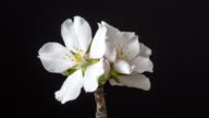 istock Almond flower rotating and blooming in a horisontal time lapse 4k video against black background. Video of Prunus dulcis blossom in spring time. 1213574743