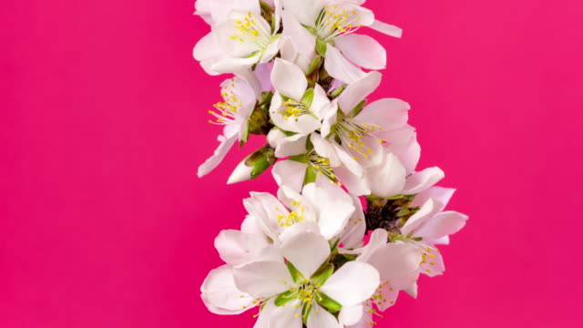Almond flower rotating and blooming in a horisontal time lapse 4k video against black background. Video of Prunus dulcis blossom in spring time.
