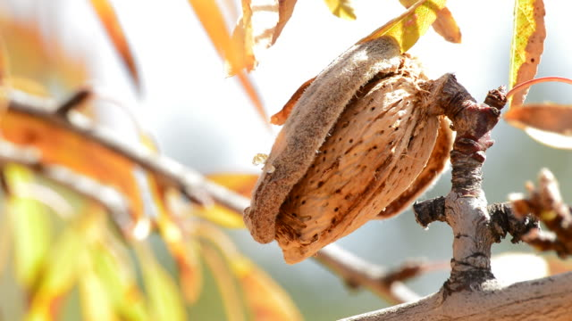 Almond in branch of a almond tree video