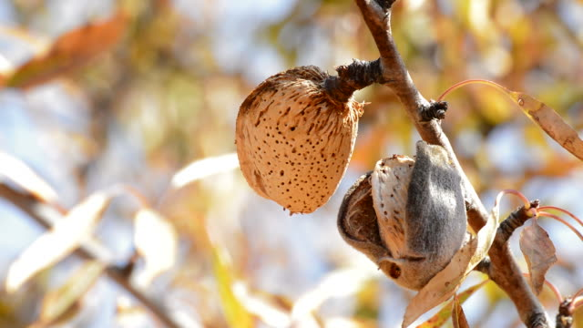 Almond in branch of a almond tree Almond in branch of a almond tree a sunny day branch plant part stock videos & royalty-free footage