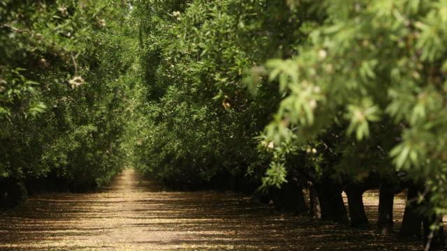 mandel orchard i i salinas valley i kalifornien usa - fruktträdgård bildbanksvideor och videomaterial från bakom kulisserna