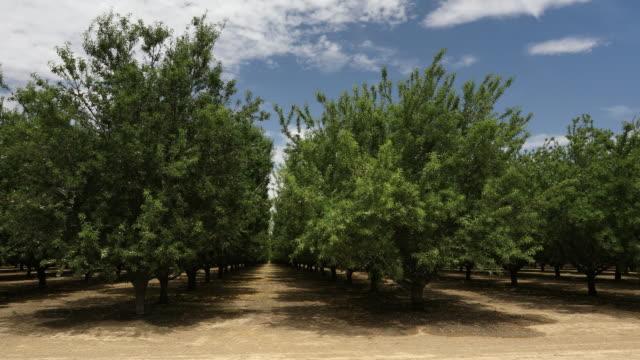 vídeos de stock e filmes b-roll de almond orchard in the salinas valley of california usa - amendoas