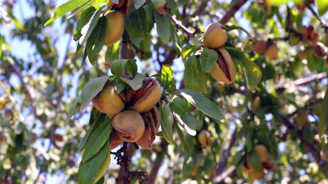 vidéos et rushes de noix d'amandes. amandes vertes sur l'arbre prêt pour la récolte. - plantation