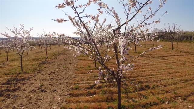 vídeos de stock e filmes b-roll de almonds tree field - amendoas
