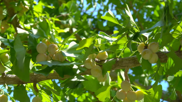 Almost mature or ripe ginkgo nuts on the tree Tokyo,Japan-August 31,2018: Mature or ripe ginkgo nuts on Ginkgo tree in the summer ginkgo tree stock videos & royalty-free footage